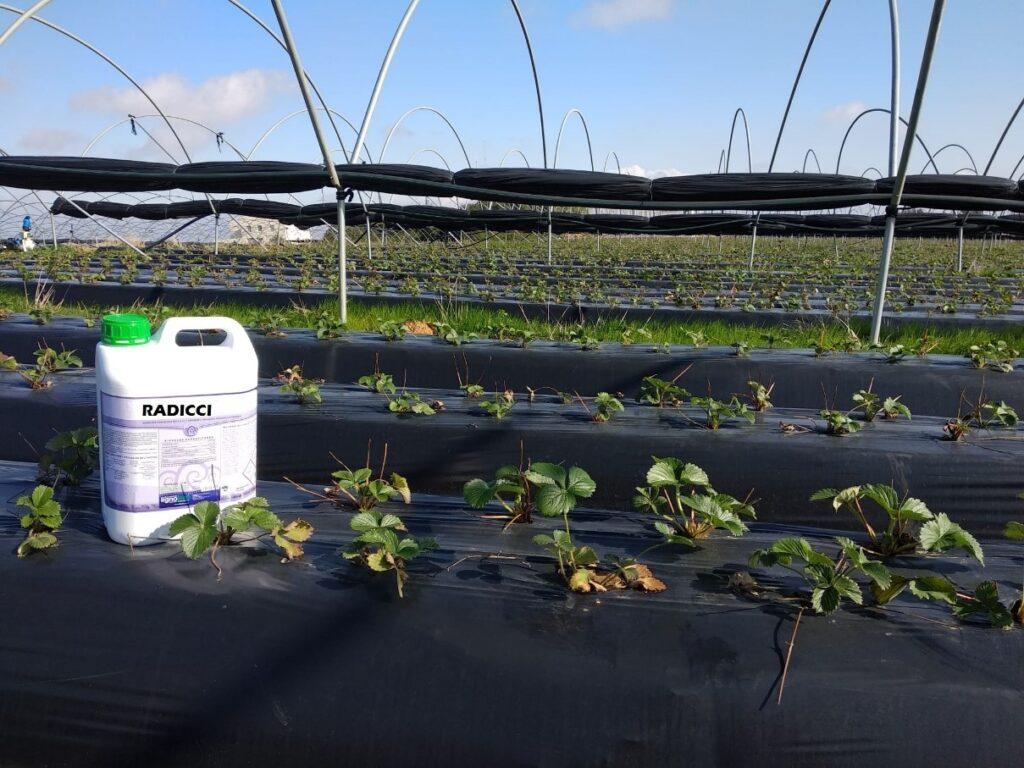 radicci plantacion fresa